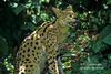Snarling Serval, Leptailurus serval, Controlled Conditions