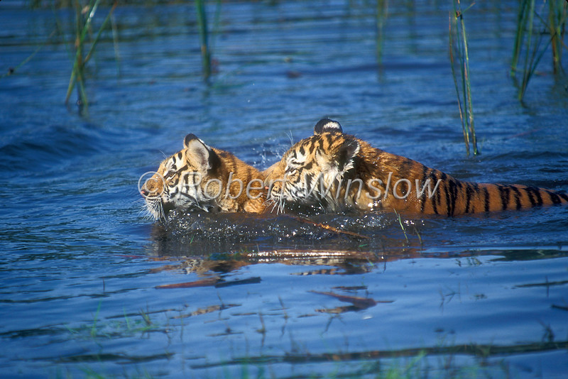 Two Bengal Tiger Cubs, Pantera tigris tigris, Swimming, controlled conditions