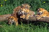 Four Twelve Week Old Bengal Tiger Cubs (Pantera tigris tigris), controlled conditions