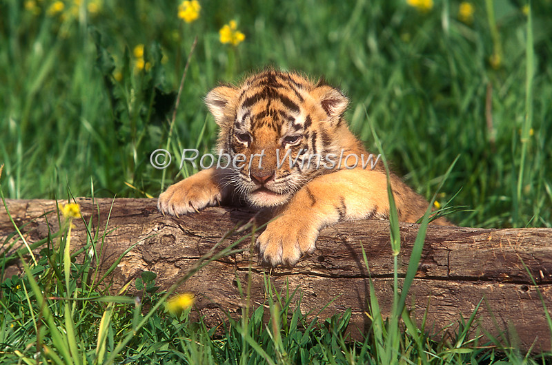 Sleepy Tiger Cub, Pantera tigris tigris, controlled conditions
