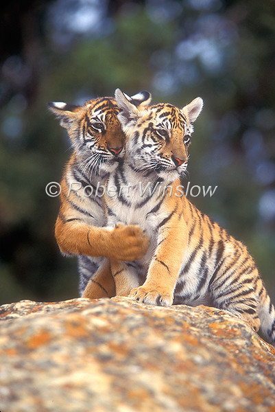 Two Bengal Tiger Cubs, Pantera tigris tigris, controlled conditions