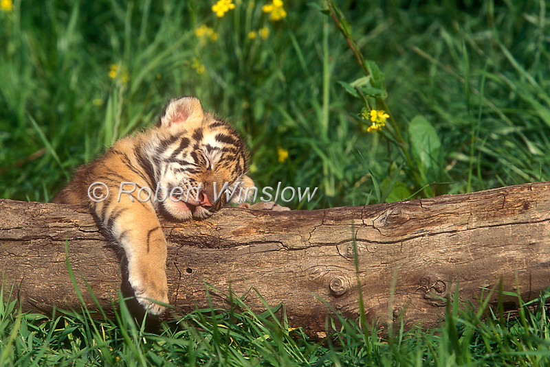 Tiger Cub, Sleeping, Pantera tigris tigris, controlled conditions
