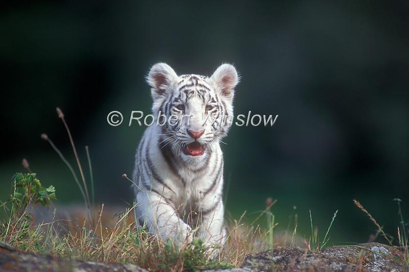 White Tiger Cub, Pantera tigris tigris, controlled conditions