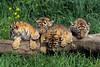 Four Twelve Week Old Bengal Tiger Cubs (Pantera tigris tigris), controlled conditions