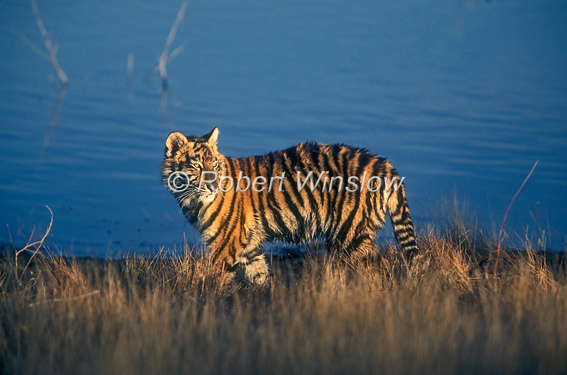 Five Month Old Siberian Tiger by Water at Sunset, Pantera tigris altaica, controlled conditions