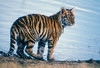 Five Month Old Siberian Tiger by Water, Pantera tigris altaica, controlled conditions