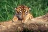 Sleepy Tiger Cub, Pantera tigris tigris, controlled conditions