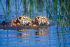 Two Bengal Tiger Cubs, Pantera tigris tigris, Swimming, controlled conditions