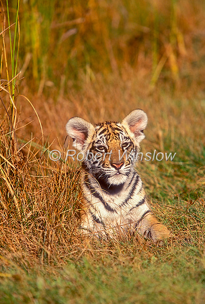 12-Week Old Tiger Cub, Panthera tigris tigris, controlled conditions
