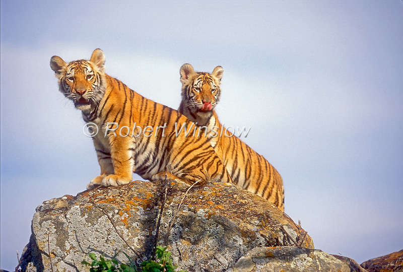 Two Tiger Cubs, Pantera tigris tigris, controlled conditions