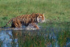 Tiger, Bengal Tiger, Walking  in Water,  Panthera tigris tigris, controlled conditions