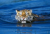 Tiger, Bengal Tiger, Swiimming in Water, Panthera tigris tigris, controlled conditions