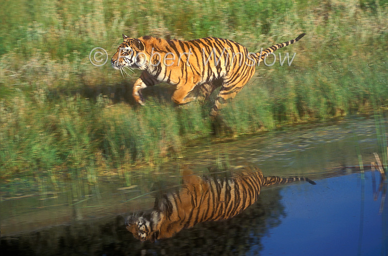 Tiger, Bengal Tiger, Running with Reflection in Water, Panthera tigris tigris, controlled conditions