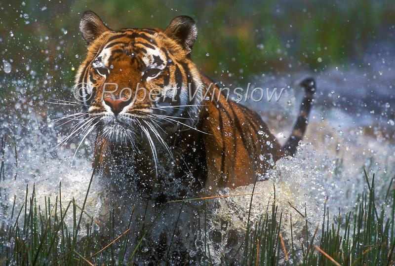 Tiger, Bengal Tiger, Running through Water,  Panthera tigris tigris, controlled conditions