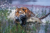 Tiger, Bengal Tiger, Running through Water,  Panthera tigris tigris, controlled conditions