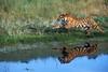 Tiger, Bengal Tiger, Running, Panthera tigris tigris, controlled conditions