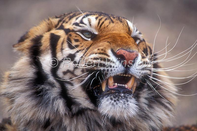 Tiger, Bengal Tiger, Panthera tigris tigris, controlled conditions