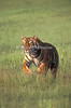 Tiger, Bengal Tiger, Running,  Panthera tigris tigris, controlled conditions