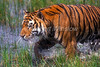 Tiger, Bengal Tiger, Walking through Water, Panthera tigris tigris, controlled conditions