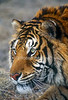 Tiger, Bengal Tiger, Panthera tigris tigris, controlled conditions
