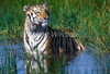 Tiger, Bengal Tiger, Standing in Water,  Panthera tigris tigris, controlled conditions