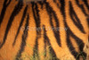 Stripes on a live Tiger, Bengal Tiger, Panthera tigris tigris, controlled conditions