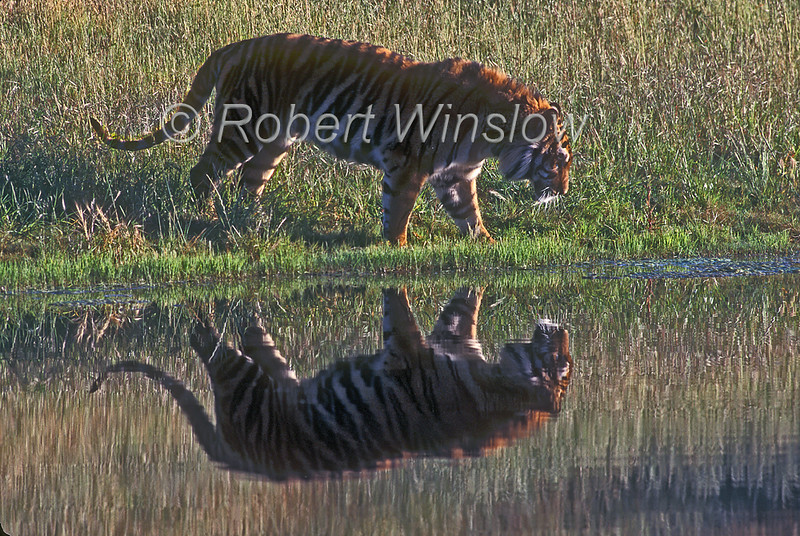 Tiger, Bengal Tiger, Reflection in Water, Panthera tigris tigris, controlled conditions