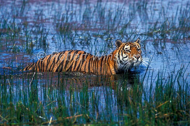 Tiger, Bengal Tiger, Standing in Water,  Panthera tigris tigris, controlled conditions