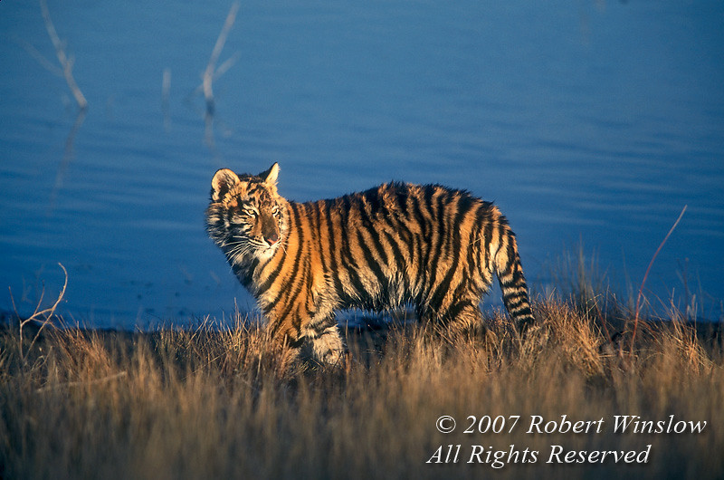 Five Month Old Siberian Tiger by Water at Sunset(Pantera tigris altaica), controlled conditions