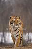 Siberian Tiger, Pantera tigris altaica, Winter, Trees, controlled conditions