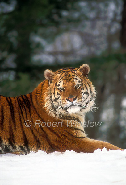 Siberian Tiger,Pantera tigris altaica, On Snow, Winter, controlled conditions