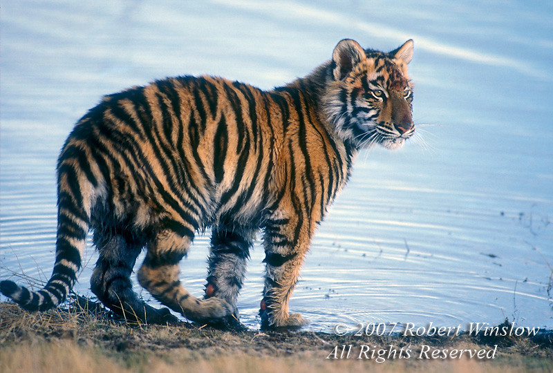 Five Month Old Siberian Tiger by Water (Pantera tigris altaica), controlled conditions