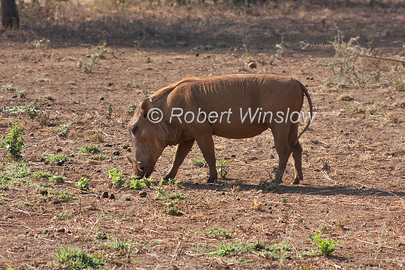 Desert Warthog, Phacochoerus aethiopicus, is a species of even-toed ungulate in the Suidae family, Tsavo West National Park, Kenya, Africa