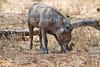 Desert Warthog, Phacochoerus aethiopicus, is a species of even-toed ungulate in the Suidae family, Samburu National Reserve, Kenya, Africa
