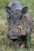 Warthog, Phacochoerus africanus, Masai Mara National Reserve, Kenya, Africa