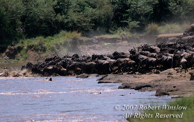 Wildebeests (Connochaetes taurinus), Crossing Mara River, Masai Mara National Reserve, Kenya, Africa