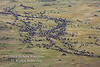 Wildebeest, Connochaetes taurinus, Migration, Red Oat Grass, Masai Mara National Reserve, Kenya, Africa