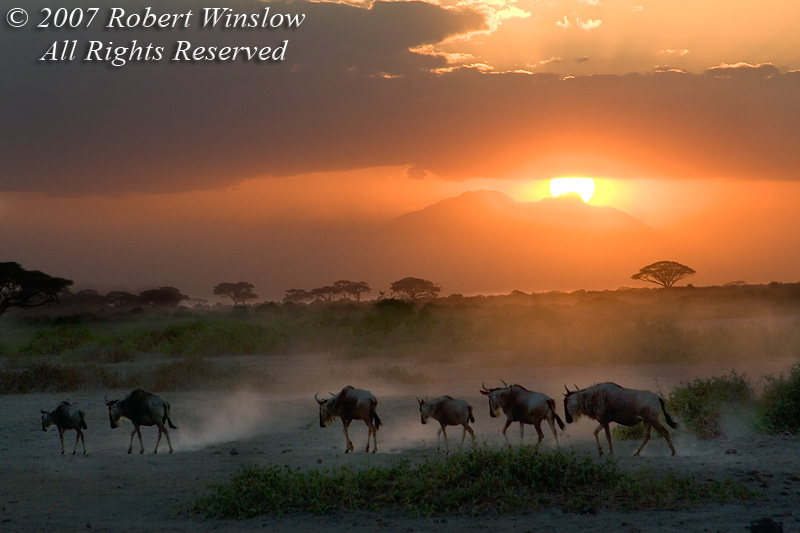 """Going Home"", Sunset, Wildebeests (Connochaetes taurinus), Amboseli National Park, Kenya, Africa"