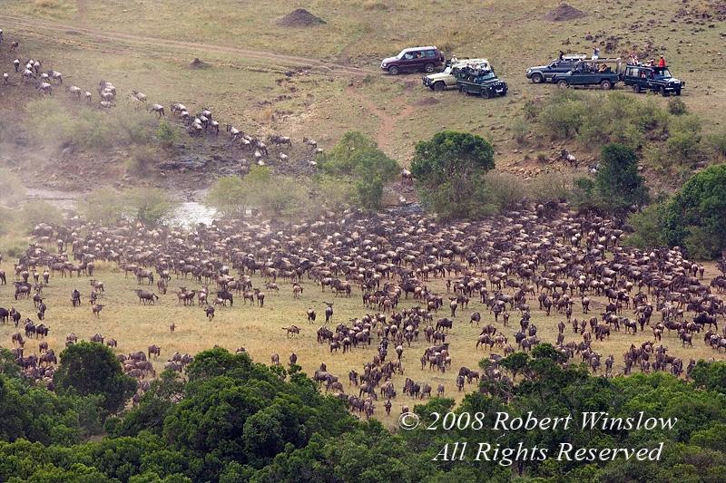 Wildebeest, Connochaetes taurinus, Crossing Mara River, Masai Mara National Reserve, Kenya, Africa, Photo taken from Mara Serena Lodge