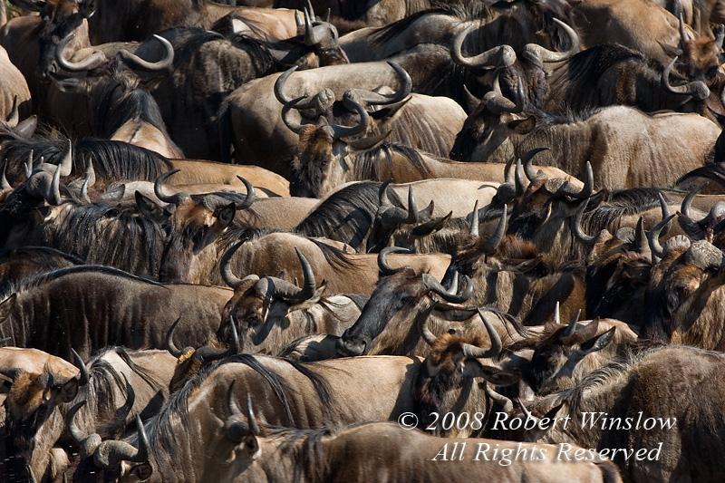 Wildebeest, Connochaetes taurinus, Crossing Mara River, Masai Mara National Reserve, Kenya, Africa