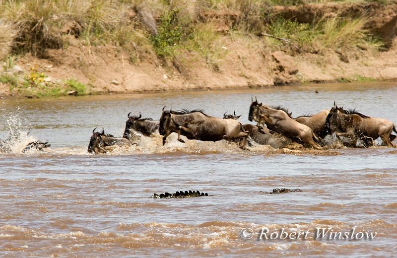 Wildebeests (Connochaetes taurinus), Crossing Mara River with Crocodile in Water, Masai Mara National Reserve, Kenya, Africa