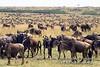 Wildebeests, Connochaetes taurinus, Red Oat Grass, Masai Mara National Reserve, Kenya, Africa