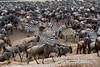 Wildebeests, Connochaetes taurinus, and Zebras durning Migration, Masai Mara National Reserve, Kenya, Africa