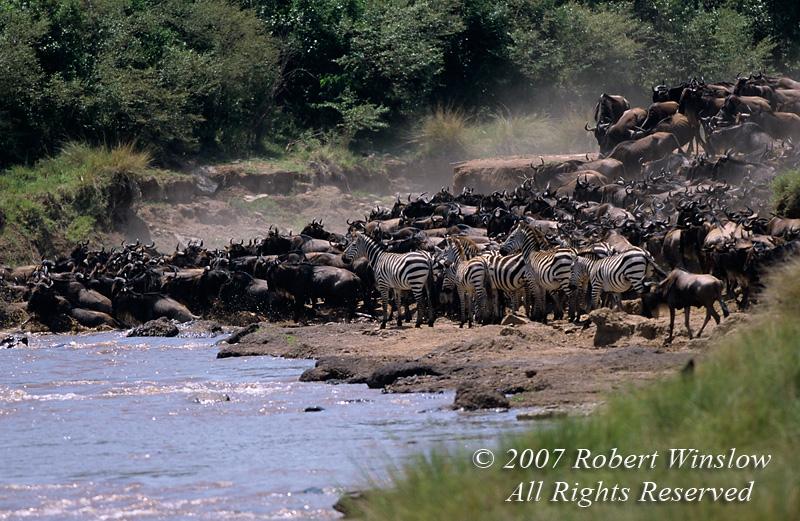 Wildebeests (Connochaetes taurinus) and a few Zebras, Crossing Mara River, Masai Mara National Reserve, Kenya, Africa
