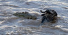 Nile Crocodile attacking a Wildebeest, Mara River, Masai Mara National Reserve, Kenya, Africa
