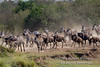 Wildebeests, Connochaetes taurinus, and Zebras Running durning Migration, Masai Mara National Reserve, Kenya, Africa