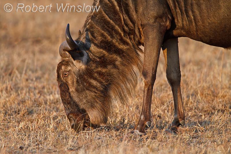 Wildebeest, Connochaetes taurinus, Red Oat Grass, Masai Mara National Reserve, Kenya, Africa
