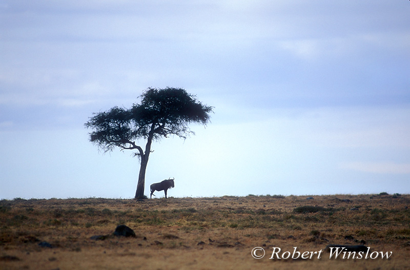 Wildebeest (Connochaetes taurinus) Under a Tree, Masai Mara National Reserve, Kenya, Africa