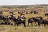 Wildebeests, Connochaetes taurinus, Red Oat Grass, Masai Mara National Reserve, Kenya, Africa