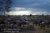 Wildebeests (Connochaetes taurinus) at Sunset, Amboseli National Park, Kenya, Africa